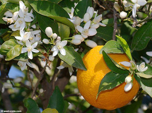 orange gardenofeaden