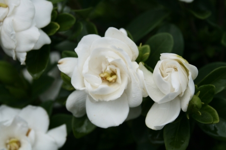 Gardenia gardendebut