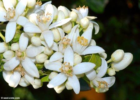 OrangeBlossom west-crete