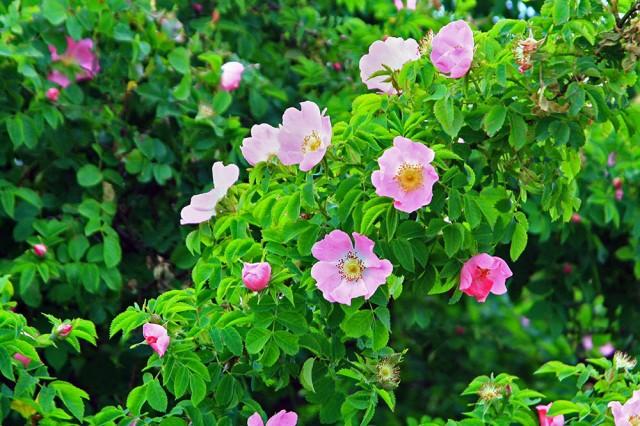 Roses forums.steves-digicams