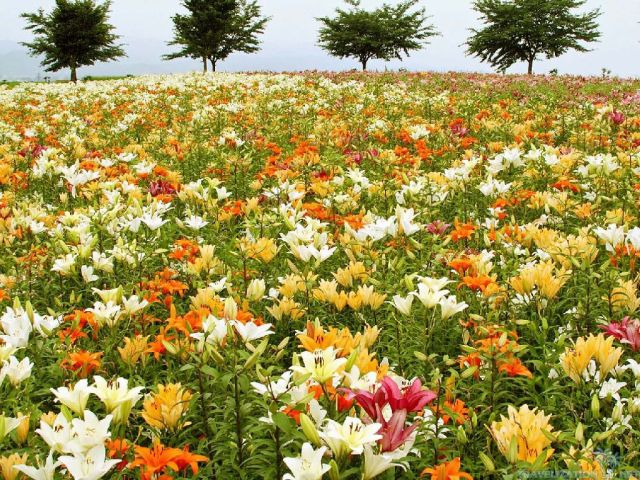 field-of-lily travelization