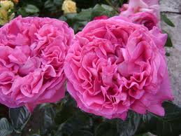 rosa-centifloia