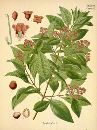 sandalwood botanical.com