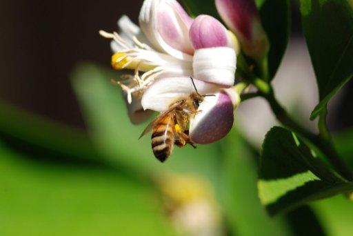 Fleurs de Citronnier Serge Lutens Lemon Blossom