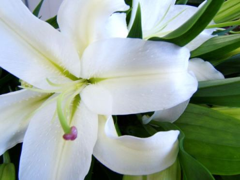 Amoureuse Lilies MorgueFile