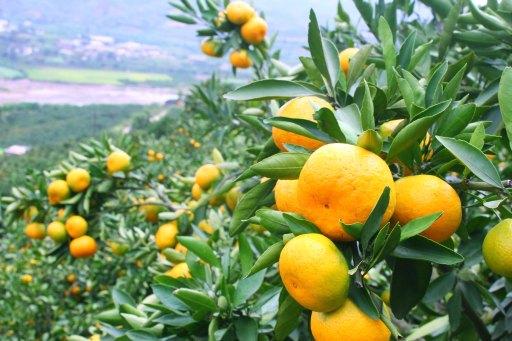 Amoureuse Tangerine WikiCommons