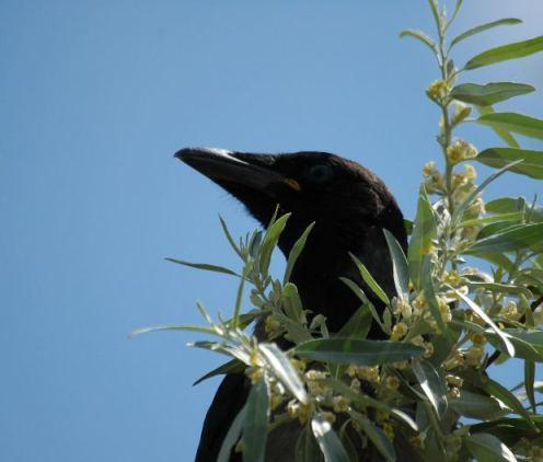 Blackbird MorgueFile