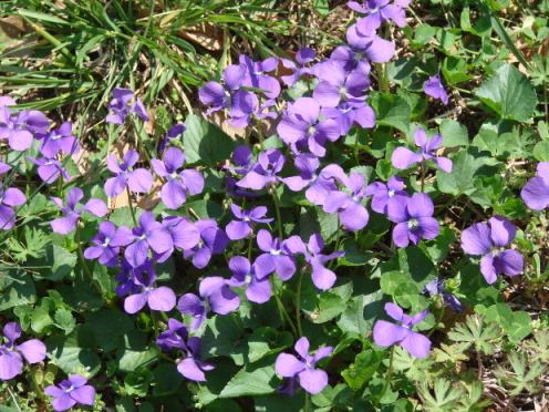 Fahrenheit Absolute Wild Violets MorgueFile