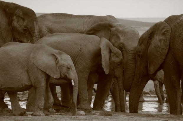 Jungle L'Elephant Kenzo Elephants MorgueFile