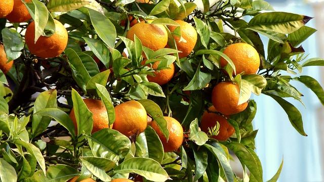Neroli Bitter Orange Tree Pixabay
