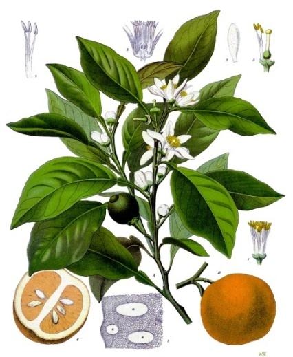 Neroli Citrus Aurantium WikiCommons