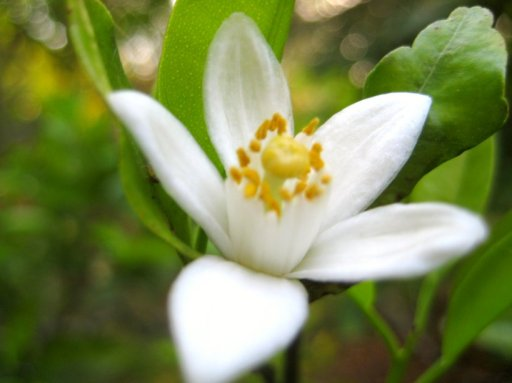 Neroli Orange Blossom Flickr