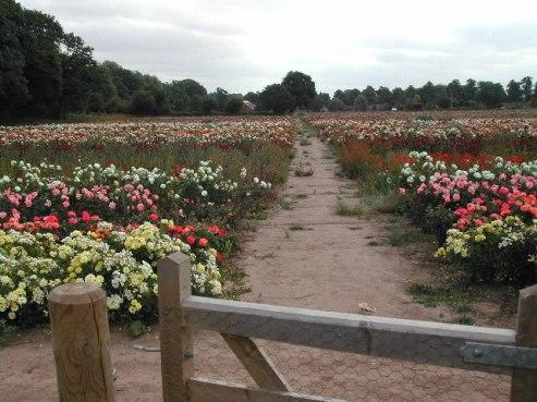 Shanti Shanti Rose Fields Woodborough WikiMedia