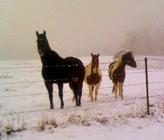 Winter horses MorgueFile