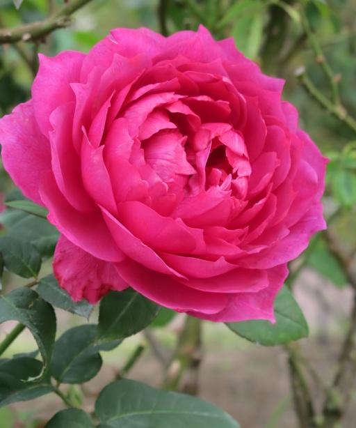 Voleur de Roses L`Artisan Parfumeur Plum Roses T Kiya Flickr