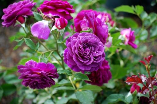Voleur de Roses L`Artisan Parfumeur Plum Roses Tracie Hall Flickr